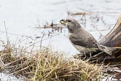 R18_9894 (ronald groenendijk) Tags: cronaldgroenendijk 2018 loxiacurvirostra rgflickrrg animal bird birds copyrightronaldgroenendijk crossbill groenendijk kruisbek nature natuur natuurfotografie netherlands outdoor ronaldgroenendijk vogel vogels