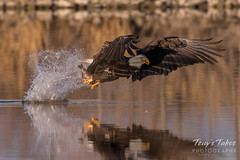Bald Eagle makes the catch - 21 of 33