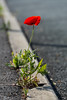 Life finds a way (D. R. Hill Photography) Tags: poppy flower nikon nikond7100 d7100 nature life nikon18200mm 18200mm bokeh