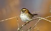_U7A6531 (rpealit) Tags: scenery wildlife nature wallkill river national refuge liberty marsh whitethroated sparrow bird