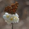 Comma's First Taste of Spring (mishko2007) Tags: polygoniacaureum korea spring 105mmf28