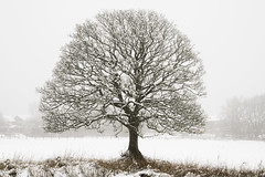 The farmers oak tree. (stetoppingphoto) Tags: winter wonderland snow thick darwen lancashire local walk walking misty sony a7 carl zeiss lens sonnar this is lancs march 2018 oak tree trees