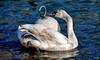 Drôle de bête... :-) (Diegojack) Tags: morges vaud suisse oiseaux cygnes adolescent bouée reflets d7200