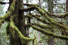 Mossy branches reach for this hiker (rozoneill) Tags: north umpqua trail river swiftwater park bobs creek butte deadline falls oregon hiking national recreation forest idleyld roseburg glide