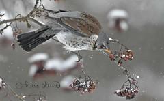 Räkättirastas,Turdus pilaris, Fieldfare (Paavo Laine) Tags: rastaat pikkulinnut bird lintu marjalintu talvi räkättirastas turduspilaris