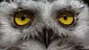 Snow owl eyes (marionB-fotografie) Tags: augen eyes schneeeule greifvogel eulen