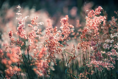 Red flower grass in cool tone color (jack-sooksan) Tags: flower red grass tree flora floral nature blow wind branch bend sweet orange bush shrub plant wood bloom blossom motion blur stalk foliage tropical forest jungle green rainforest colorful garden season pink beautiful spring closeup petal