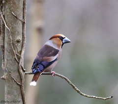 Hawfinch Male (Georgiegirl2015) Tags: finch hawfinch wildlife avian wales woodlands winter forest forestganol birds bbcwalesnature dellalack march2018 male trees deciduous woods canon countryside