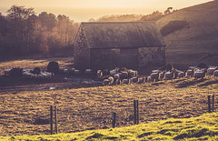 Baaaahrn & sheep (frattonparker) Tags: btonner isleofwight lightroom6 nikond810 raw tamron28300mm frattonparker sheep barn spring winter contrejour backlit
