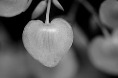 From heart to heart (setoboonhong) Tags: nature begonia flower bud heart shaped monochrome bw macro depth field bokeh blur fitzroy gardens conservatory melbourne hmbt ngc npc