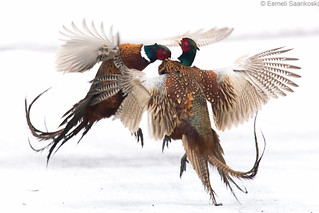 Battling pheasants