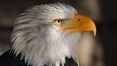 Weißkopfseeadler (karinrogmann) Tags: aquiladimaretestabianca baldeagle weiskopfseeadler