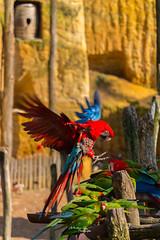 À table... (nicolasrphotographe) Tags: animal oiseau perroquet vol bois roche bokeh tonneau nicolasrphotographe eos 700d canon bird parrot flight wood rock barrel