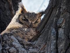 Great Horned Owl (Front Range Dad) Tags: digiscope primefocus telescope celestron c5 owl adapted