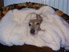 cosy (adore62) Tags: dogs dog italian greyhound blanket cosy