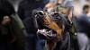 Locked look (zola.kovacsh) Tags: indoor animal pet dog show display exhibition doberman dobermann pinscher portrait