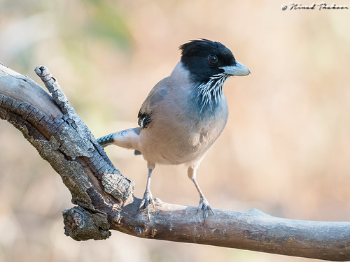"""Black-headed Jay (Lifer) • <a style=""""font-size:0.8em;"""" href=""""http://www.flickr.com/photos/59465790@N04/26720336468/"""" target=""""_blank"""">View on Flickr</a>"""