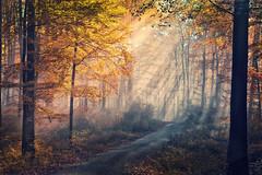 enlightenment (Rita Eberle-Wessner) Tags: forest wald woods waldweg forestpath baum bäume tree trees nebel fog licht light lichtstrahlen sonnenstrahlen sunrays sunbeams beams strahlen tyndalleffekt tyndalleffect laubwald herbst autumn fall herbstlaub odenwald