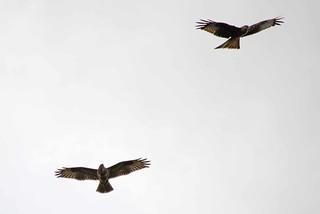 Red Kite (Milvus milvus) & Buzzard (Buteo buteo) 8-3-17