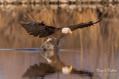 Bald Eagle makes the catch - 20 of 33