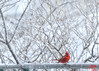 Male Red Cardinal (MalNino) Tags: maleredcardinal backyarddenizen winter snowscene brooklyn elusive