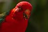 King Parrot (Rodger1943) Tags: kingparrot parrots australianbirds fz1000