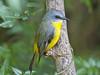 Eastern Yellow Robin - Eopsaltria australis. Male (Steve Hitchcock) Tags: easternyellowrobin eopsaltriaaustralis queenslandbirds australianbirds stevehitchcock