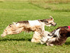 CoursingVillaverla2016w-034 (Jessica Sola - Overlook) Tags: dogs sighthounds afghanhounds greyhounds saluki barzoi italiangreyhounds irishwolfhounds lurecoursing lure race run dograces field greengrass