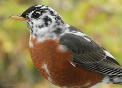 He is back! (NaturewithMar) Tags: american robin bird manchitas closeup spring 2018 leucistic feathers