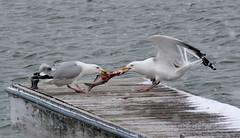 Mine! (jefftome) Tags: gull fight herring erie gulls birds fish food chain animal white dock lake
