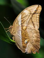 Bamboo Butterfly (dianne_stankiewicz) Tags: insect wildlife nature butterfly bamboo bamboobutterfly