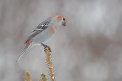 Pine Grosbeak (Joe Branco) Tags: winterbirds finches north ontario canada photoshopcc2018 nikon joebrancophotography wildlifephotography nikond500 pinegrosbeak green