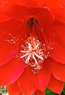 Flat Leaf Succulent Red Blossom