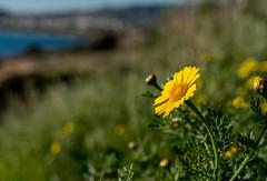 Nature (KF-GR) Tags: fx fullframe nikon d750 nikond750 voigtlander 58mm voigtlander58mm nokton voigtlander58mmf14nokton nature bokeh bokehlicious flower