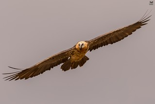 Quebra-ossos, Bearded vulture(Gypaetus barbatus)ta)