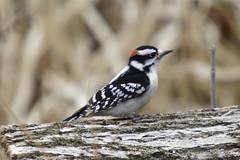 hairy woodpecker (maverikbandit) Tags: woodpecker hairy hairywoodpecker toronto canada ontario bird animal sony nikon d300 a77ii animals birds gta wildlife