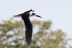 Rynchops niger / Black Skimmer (LeShello) Tags: costarica cocorocas rynchopsniger blackskimmer