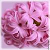 Jacinthe (Audrey Abbès Photography ॐ) Tags: jacinthe douceur rose audreyabbès nikon d600 macro fleur plante déco fleurs couleur pétales pétale parfum sundaylights macromix