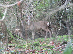 Woodland Deer! ('cosmicgirl1960' NEW CANON CAMERA) Tags: animals devon village nature wildlife green deer roe yabbadabbadoo