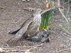 Backyard Drama (WRFred) Tags: bird wildlife nature hawk maryland montgomerycounty washingtonwestquad backyardwildlife prey