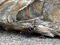 Baldfaced Hornet (BlueRidgeKitties) Tags: canonpowershotsx40hs baldfacedhornet nest insect dolichovespulamaculata
