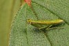 Praying Mantis Nymph (Odontomantis sp., Hymenopodidae) (John Horstman (itchydogimages, SINOBUG)) Tags: macro china yunnan itchydogimages sinobug entomology canon praying mantis nymph green hymenopodidae insect tumblr
