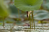 Sniper (PeterBrannon) Tags: bird bittern florida ixobrychusexilis leastbittern nature wildlife killerabs reach stretch
