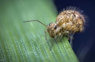 Springtail Colembolla