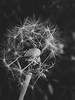 reluctance (YellowTipTruck) Tags: blackandwhite reluctance dandelion taraxacum blowball laziness summer nature
