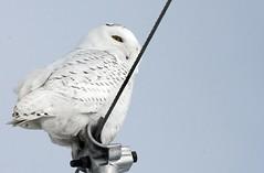 Snowy Owl (DRGorham) Tags: snowyowl simcoecounty onphoto