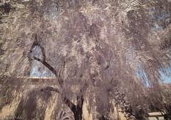 Barcelona-tree I (robpolder) Tags: 2017 barcelona park fullspectrum infrared montjuich