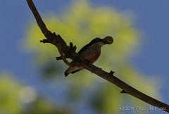 Red-keeled flowerpecker or red-striped flowerpecker (Dicaeum australe) (Peter du Preez) Tags: redkeeled flowerpecker redstriped dicaeum australe bird bohol philippines