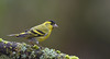 Tarin des aulnes (guiguid45) Tags: nature sauvage oiseaux bird passereaux loiret d810 nikon 500mmf4 tarindesaulnes spinusspinus eurasiansiskin fringillidés