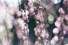 DSC03450 (Keishi Etoh rough-and-ready photoglaph) Tags: sony nex6 sonynex6 apsc nex modifiedm42pentaconav80mmf28 120mm pentacon mf manualfocuslens primelens fixedfocallengthlens oldlens m42 単焦点 中望遠 三池 大牟田 普光寺 fukohjitemple miike omuta flower